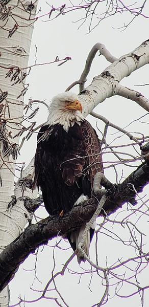 Bald Eagle afternoon