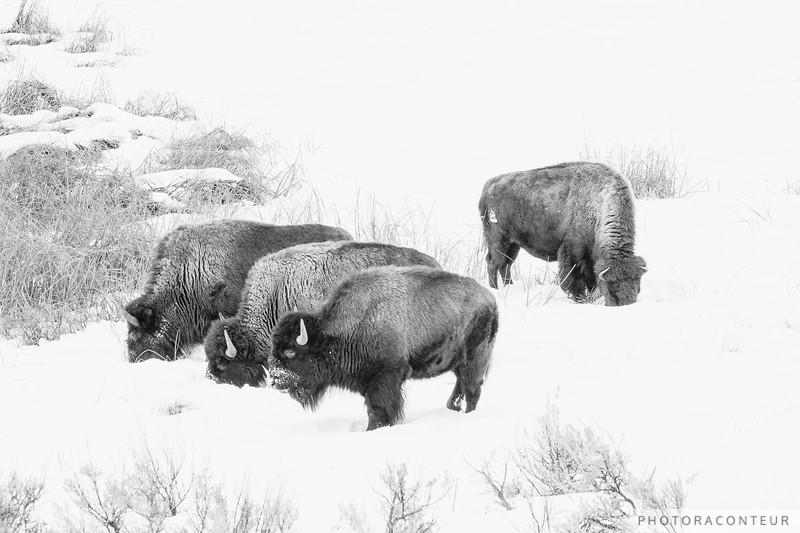Buffalo Break