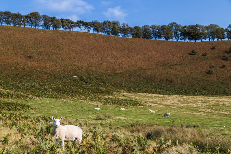 Sheep dotted on the hillside