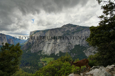 A deer on the 4 Mile Trail in Yosemite National Park with El Capitan and the valley floor in the background.