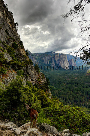 A deer on the 4 Mile Trail in Yosemite National Park with Cathedral Rocks and the valley floor in the background.