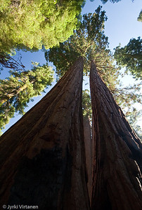 Giant Sequoias on Mariposa Grove - Yosemite National Park, CA, USA