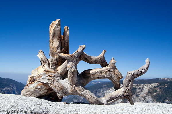 Jeffrey Pine - Yosemite National Park, CA, USA