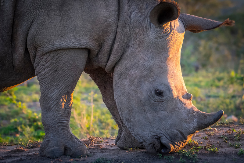 This juvenile white rhino lives in South Africa's Hluhuluwe-Imfolozi Game Reserve.
