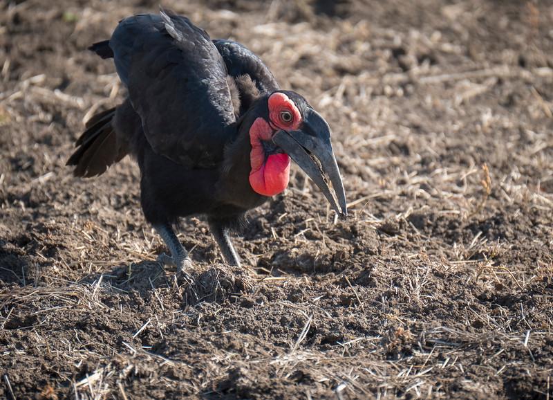 Southern Ground-Hornbill
