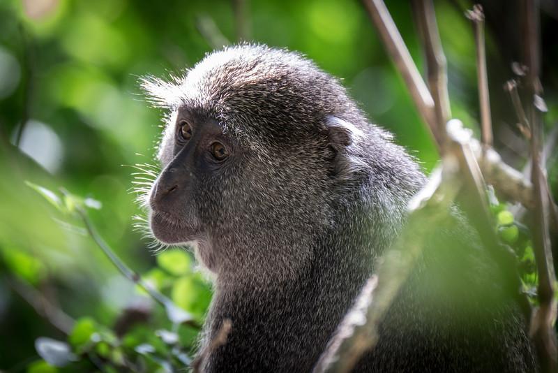 Samango monkey (Cercopithecus mitis erythrarchus) at Cape Vidal, South Africa.