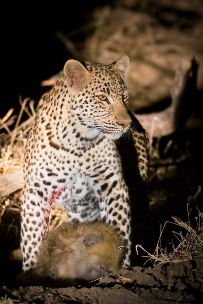 Leopard with a baboon