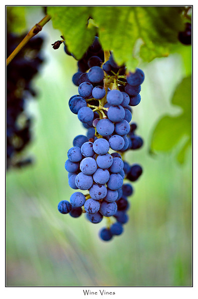 Wine grapes from Leo's Winery