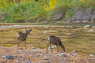 Young Deer at the River