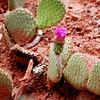 Desert Flower in Zion National Park in Utah 2
