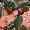 Desert Flower in Zion National Park in Utah