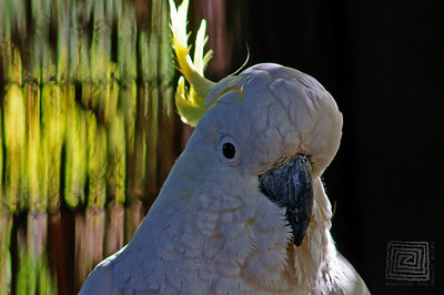 HHP_Cockatoo_1088
