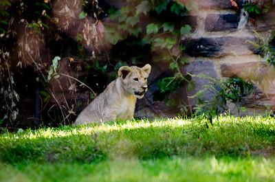 Zoo Visit - 090714 - Lion Cubs