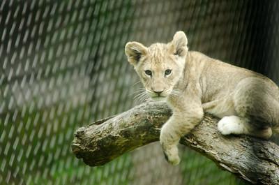 Zoo Visit - 091314 - Lion Cubs