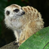 Meercat_006982_filtered