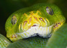 Green tree python_007010_filtered