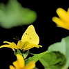 Clouded Sulphur Butterfly shot with the Sigma 150-600 S on 7-13-15 at Hampton Hills.