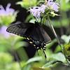 Black Swallowtail. Sigma 150-600 S lens. Hampton Hills 7-13-15.
