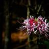 Rhododendron canescens (Mountain azalea)