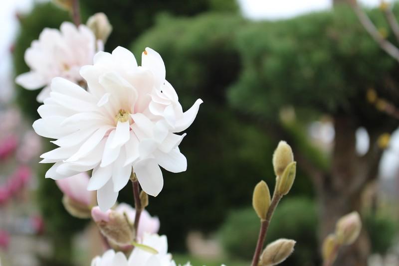 Magnolia stellata 'Centennial Blush' (2)
