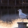 "Christmas Eve Seagull At Broadway - ""Debbie"""