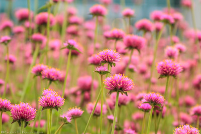 Field of Pink Clovers