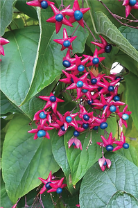 Clerodendron trichotimum