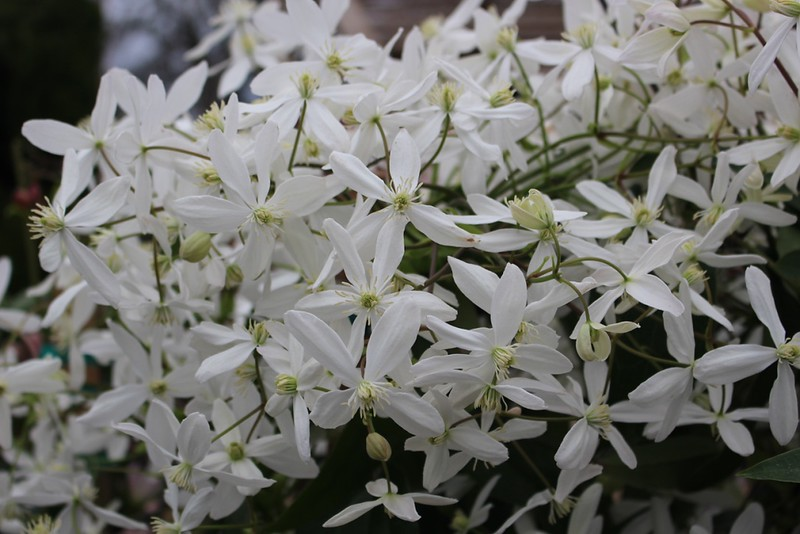 Clematis armandii 'Snowdrift' (2)