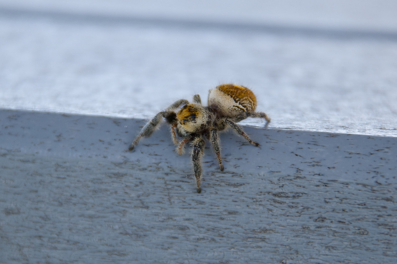 Saw this nasty guy on a table at the beach (Indian Harbour Beach) in Florida. He was huge and furry!