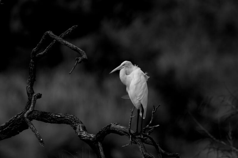 Great egret noir