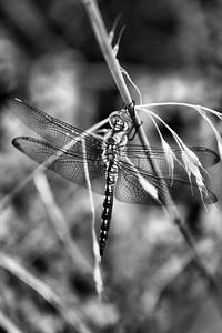 Gragonfly