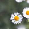 English Daisy - Bellis Perennis