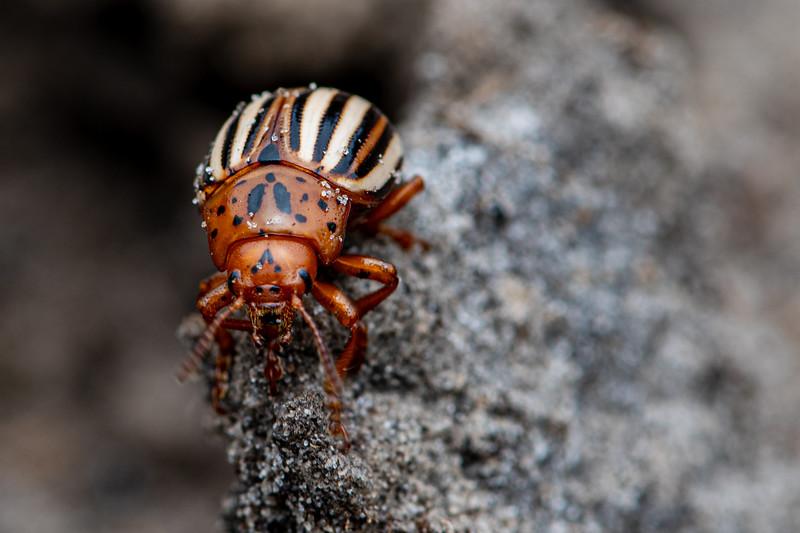 False Potato Beetle (Leptinotarsa juncta)