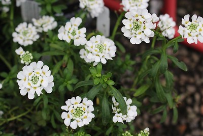 Iberis sempervirens 'Purity'