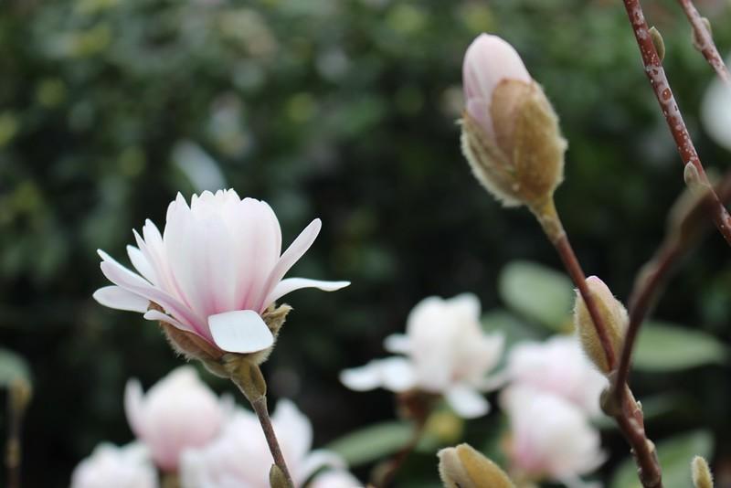 Magnolia stellata 'Centennial Blush'