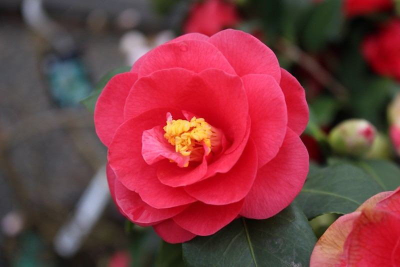 Camellia jap  'Covina'