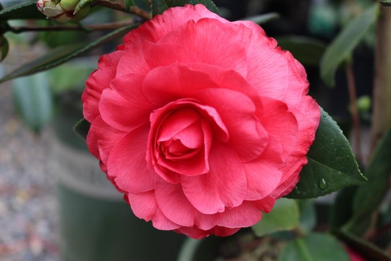 Camellia jap  'Nuccio's Bella Rossa' (2)