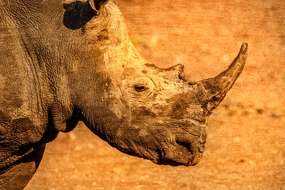 Rhino In Profile