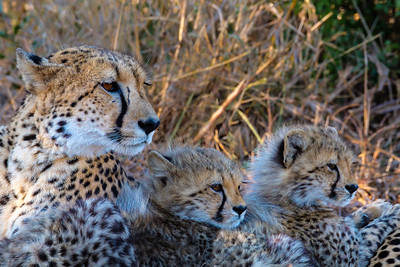 She-Cheetah and Cubs