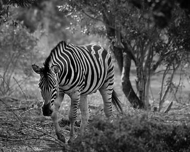 Head Down Zebra