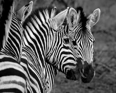 Zebras Unmasked