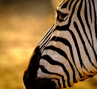 Zebra Contemplation
