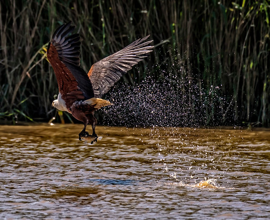 African Fish Eagle II