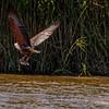 African Fish Eagle III