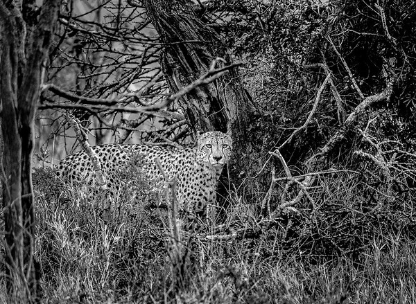 Cheetah In The Woods