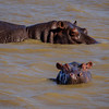 Hippo Cow And Calf