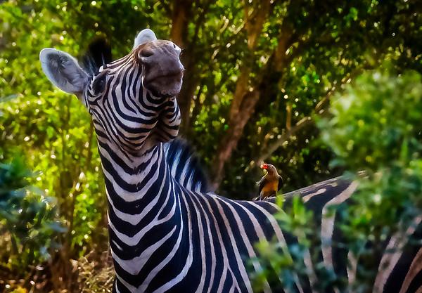 Zebra And Oxpecker