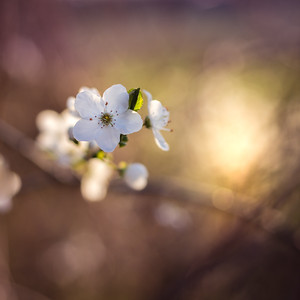 """""""Kirschblüte"""" Am Blütenhang zwischen Seeheim und Malchen"""