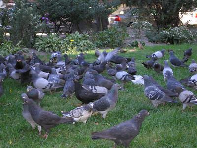 Doves at park