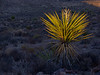 Yucca on ridge has the last light of the evening while all of the lower objects are in the shadows